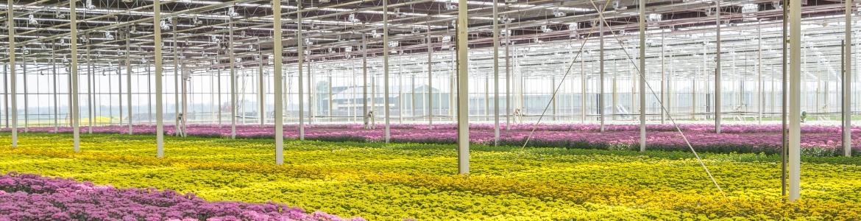 Produkty do upraw chryzantemy