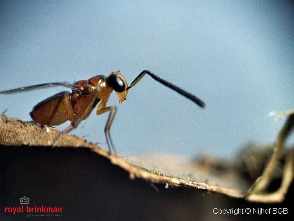 Leptomastix dactylopii blister 40os.