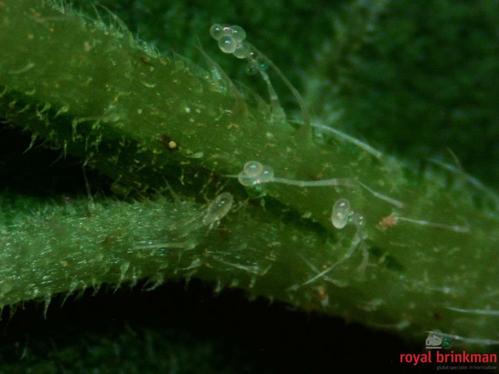 MONcontrol (Transeius montdorensis) TURBO sasz.250x350os.