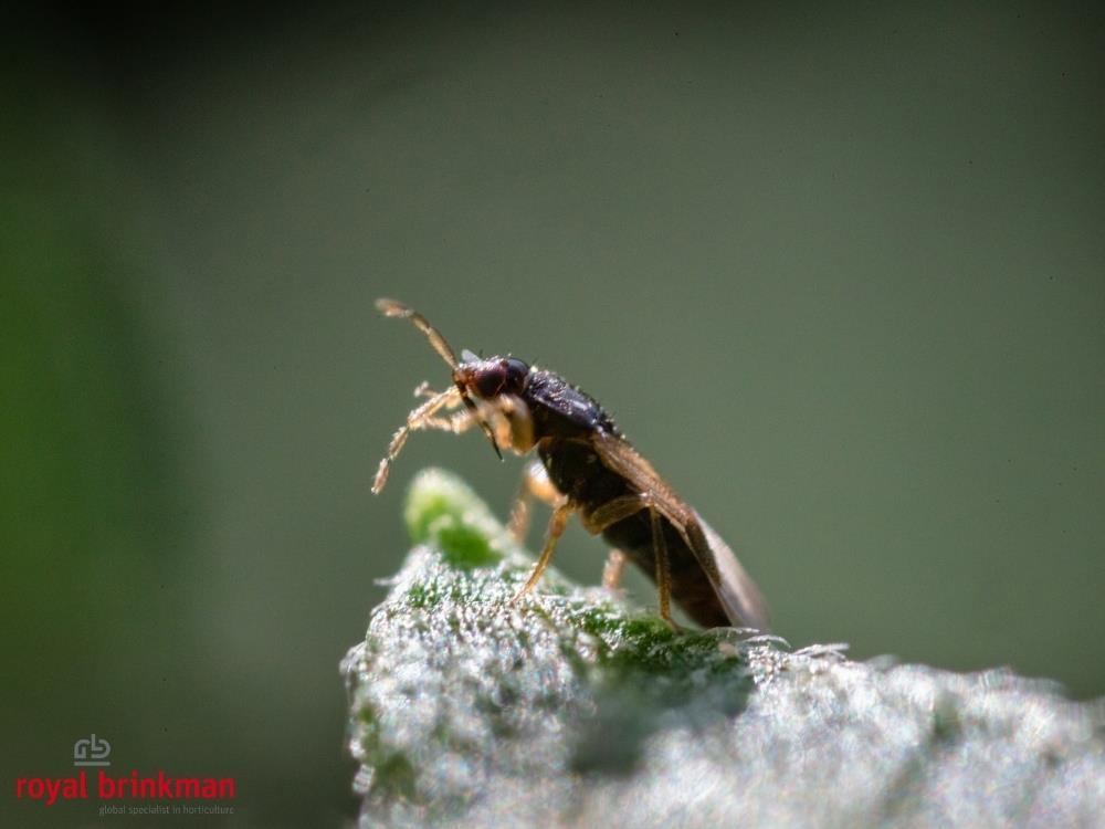 ORIcontrol (Orius leavigatus) but. 2000os. Nimfy