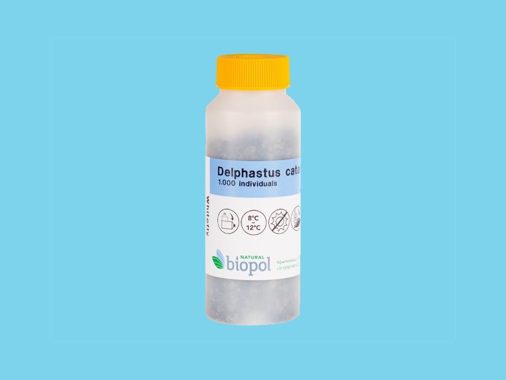 Delphastus catalinae butelka 1000osob. (BP)