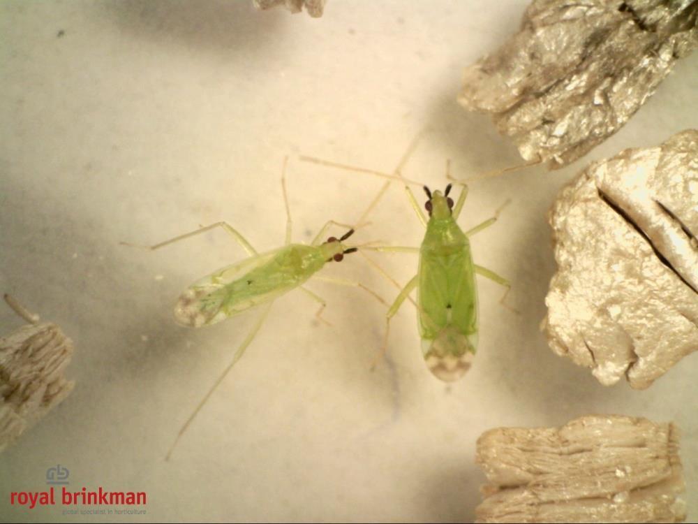 MACROcontrol (Macrolophus pygmaeus) 500os. (dorosłe) [RBP]