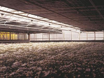 Folia zaciemniająca Chrysoblack czarno-biała 60mic 7m/200mb