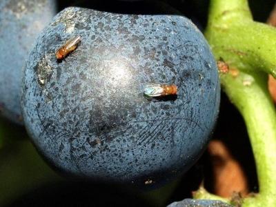 Siatka p.owadom/D.suzukii 0,97x0,83mm wys. 400cm/200mb