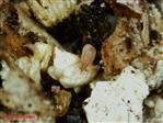 Stratiolaelaps scimitus (Hypoaspis) but. 125.000 osob. (BP)