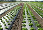 Folia biodegradowalna 15mic 100cm/2000mb (4-6 mies)